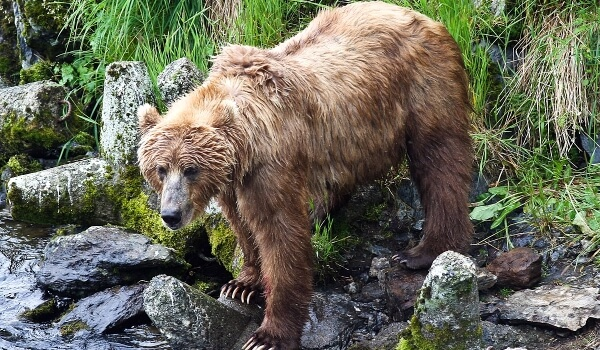Фото: Медведь кадьяк в природе