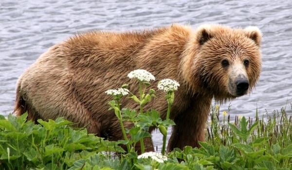Фото: Гигантский медведь кадьяк