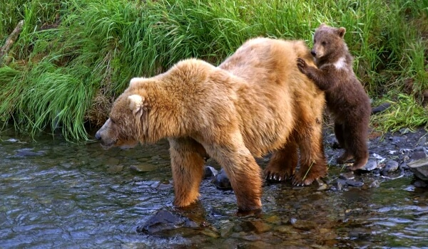 Фото: Медведь кадьяк