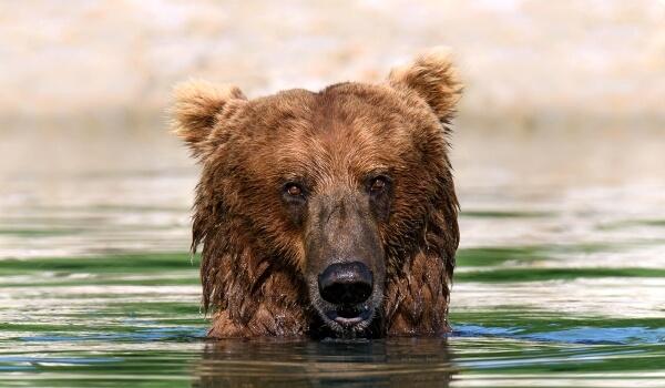 Фото: Бурый медведь кадьяк