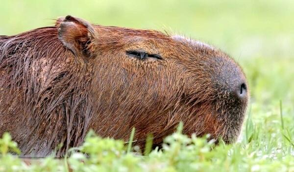 Фото: Животное капибара