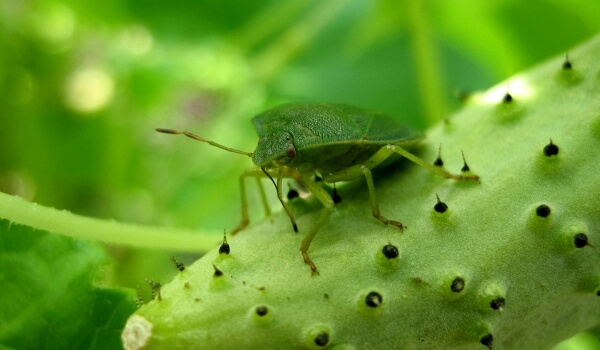 Фото: Клоп жук вонючка