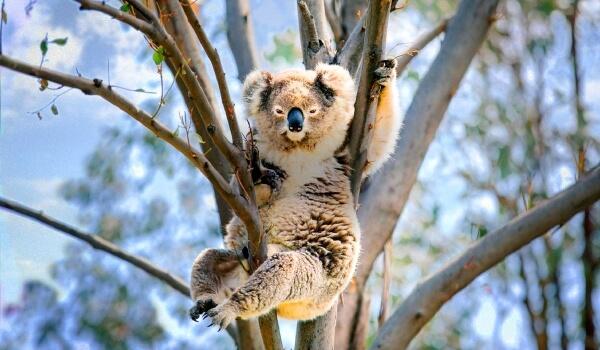 Фото: Мишка коала