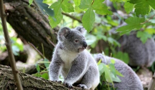 Фото: Коала в Австралии