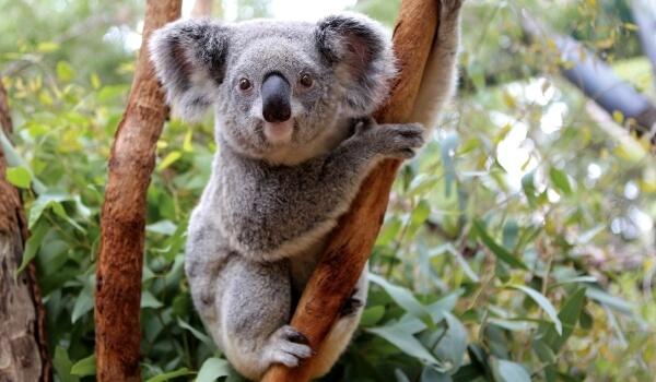 Фото: Животное коала