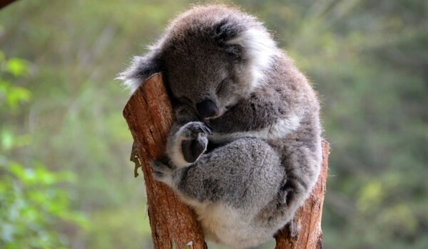 Фото: Маленькая коала