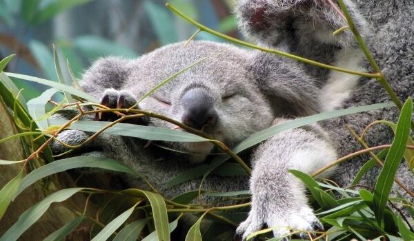 Фото: Австралийская коала