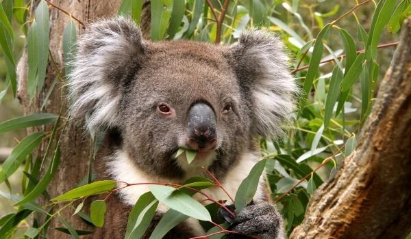 Фото: Животные Австралии коала