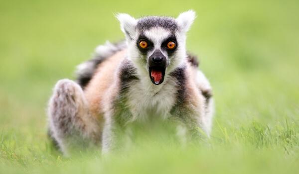 Фото: Кошачий лемур с Мадагаскара