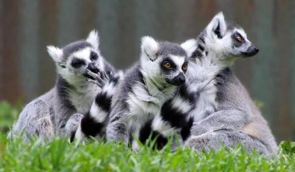 Фото: Кошачьи лемуры Мадагаскар
