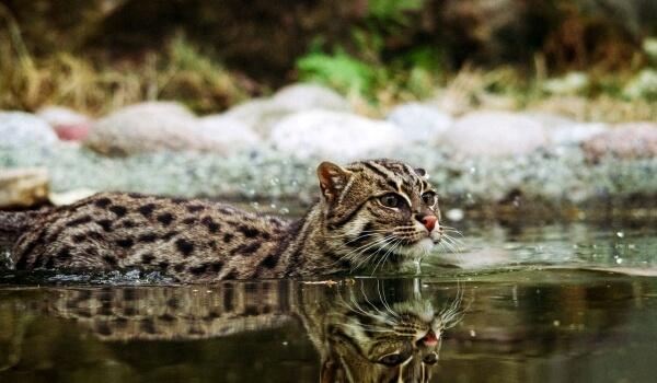 Фото: Животное кот-рыболов