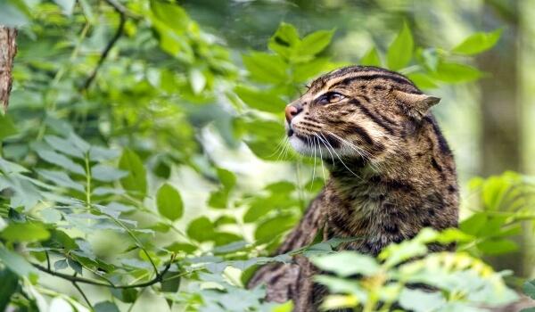 Фото: Кошка-рыболов