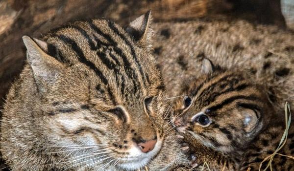 Фото: Детеныш кошки-рыболова