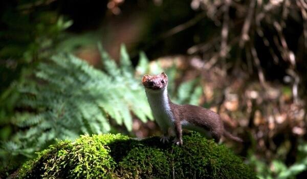 Фото: Ласка в лесу