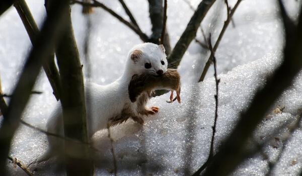 Фото: Ласка на снегу