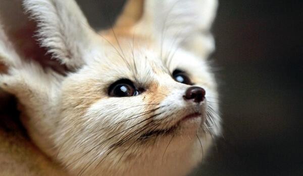 Фото: Маленькая лиса фенек