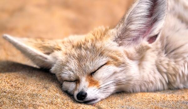 Фото: Пустынная лиса фенек