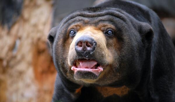 Фото: Медведь-собака