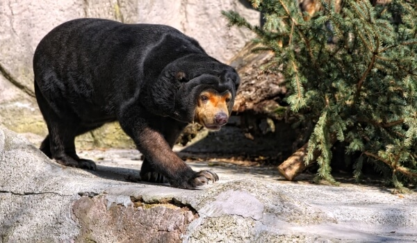 Фото: Малайский медведь (бируанг)