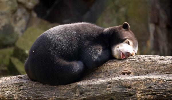 Фото: Малайский медведь из Красной книги