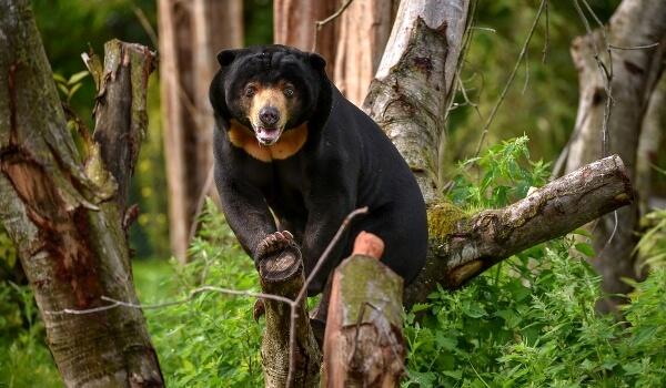 Фото: Бируанг, или малайский медведь