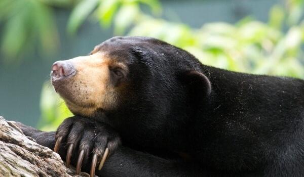 Фото: Малайский медведь