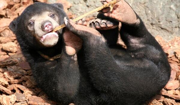 Фото: Малайский солнечный медведь
