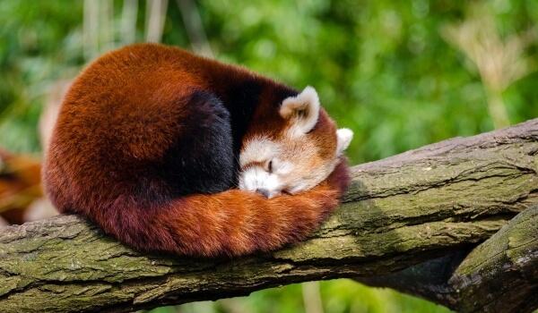 Фото: Малая красная панда Красная книга