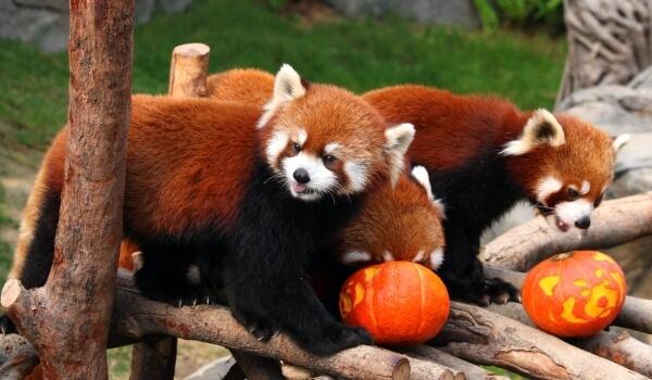 Фото: Малая красная панда