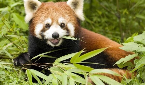 Фото: Животное малая красная панда