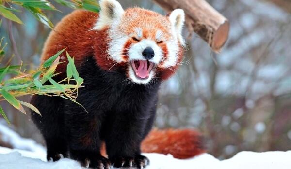 Фото: Малая красная панда на снегу