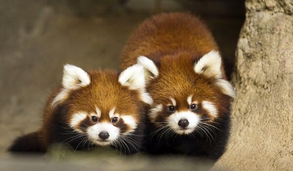 Фото: Детеныш малой красной панды
