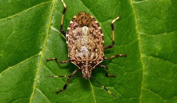 Фото: Мраморный клоп насекомое