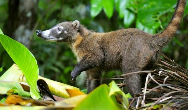 Фото: Животное носуха