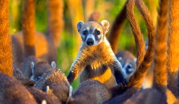 Фото: Млекопитающее носуха