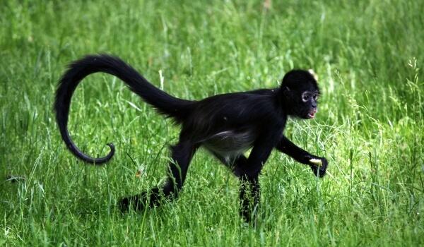 Фото: Паукообразная обезьяна детеныш