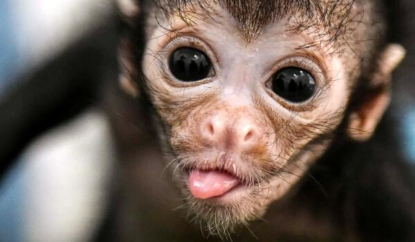 Фото: Детеныш паукообразной обезьяны