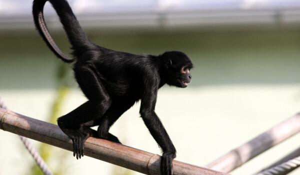 Фото: Черная паукообразная обезьяна