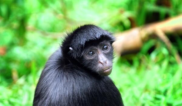 Фото: Животное паукообразная обезьяна
