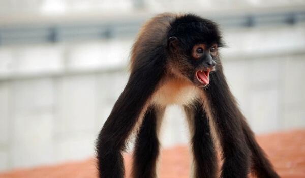 Фото: Паукообразная обезьяна из красной книги