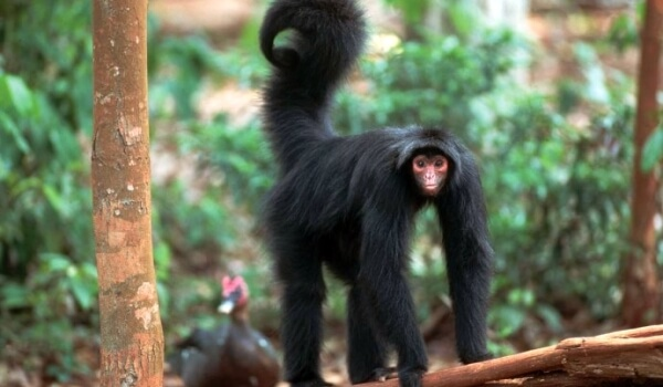 Фото: Паукообразная обезьяна