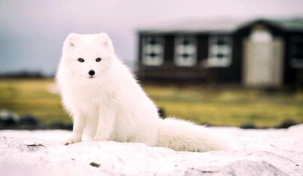 Фото: Песец лисица