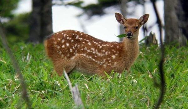 Фото: Детеныш пятнистого оленя