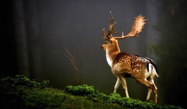 Фото: Пятнистый олень
