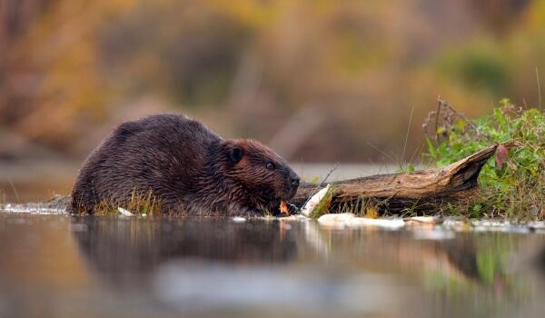 Фото: Обыкновенный речной бобр