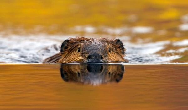 Фото: Европейский речной бобр