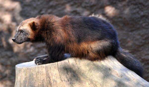 Фото: Росомаха животное