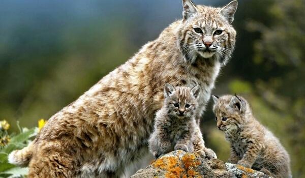 Фото: Котенок рыси