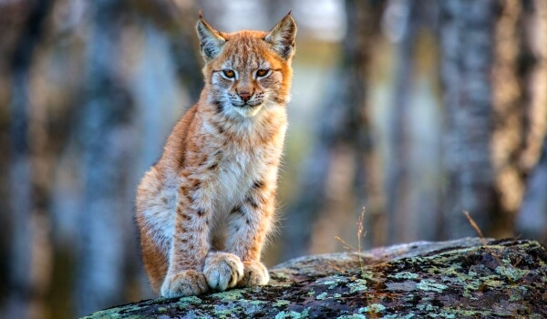 Фото: Кошка рысь