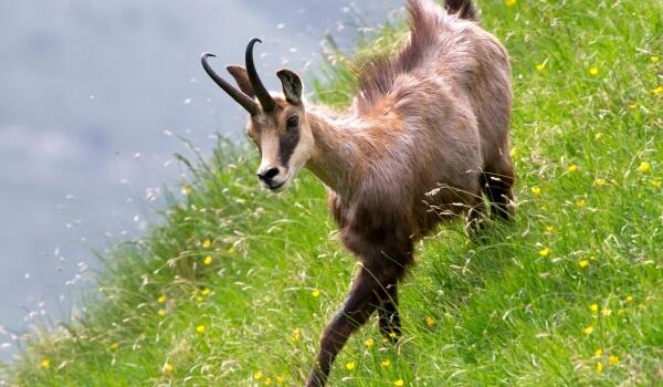 Фото: Животное серна